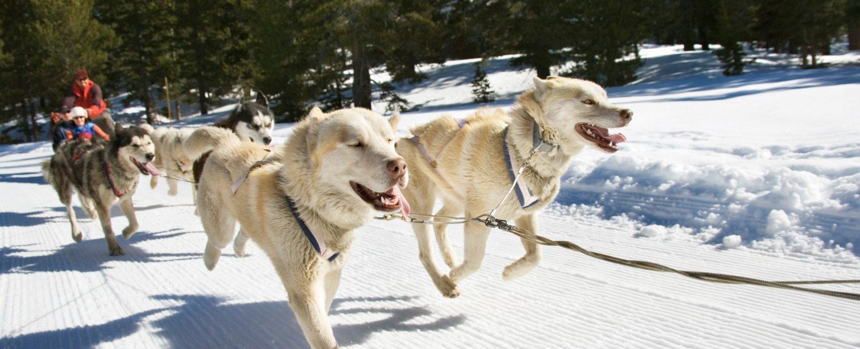 dog sledding snow