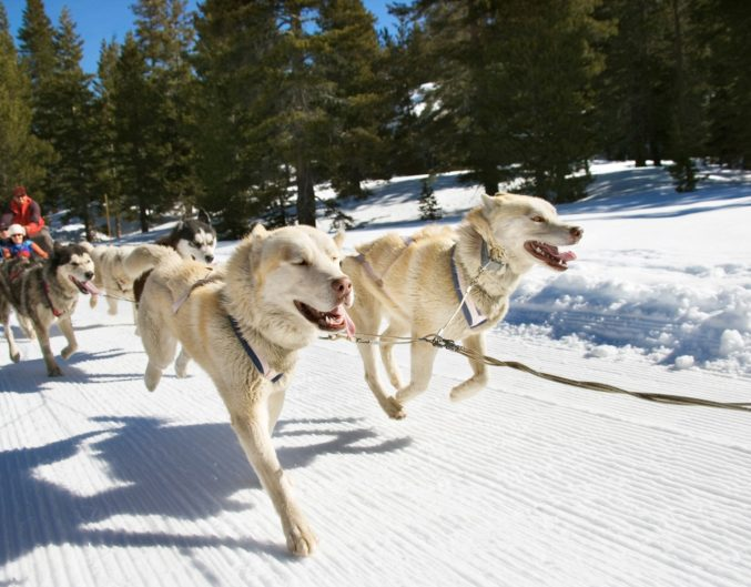 dog sledding snow